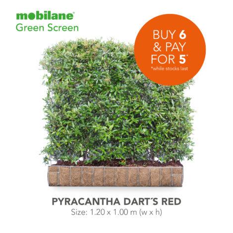 Pyracantha