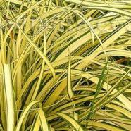 Carex oshimensis Evergold S-W-E