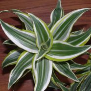 Dracaena White Surprise