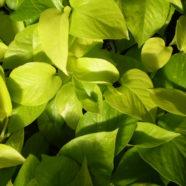 Epipremnum Golden Pothos