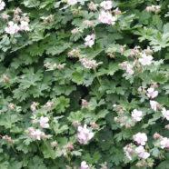 Geranium cantabrigiense S-W-E