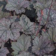 Heuchera Frosted Violet S-W-E