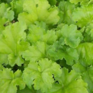 Heuchera Lime Rickey W-E