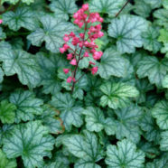 Heuchera Paris S-W-E