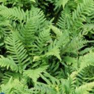 Polypodium vulgare N-S-W-E