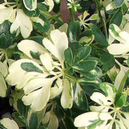 Schefflera arboricola Janine