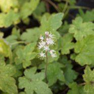 Tiarella cordifolia S-W-E