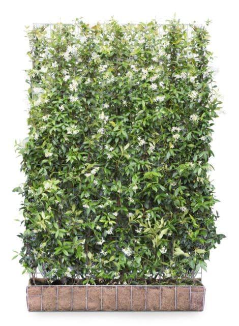 Trachelospermum-jasminoides-_120x180_HR-e1499766719280