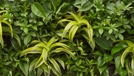 Lemon Surprise Mix for zesty foliage