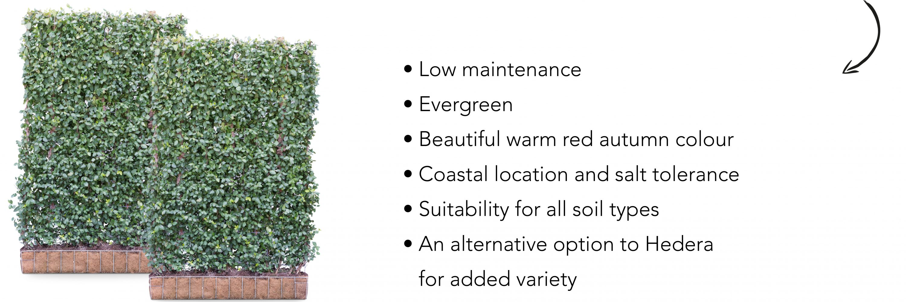 Euonymus – On trend in your landscape in 2019 | Mobilane