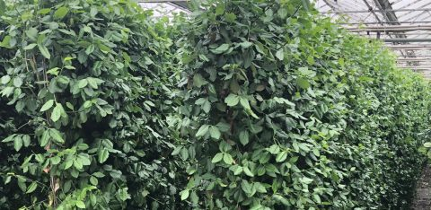 Euonymus Green Screen Grower