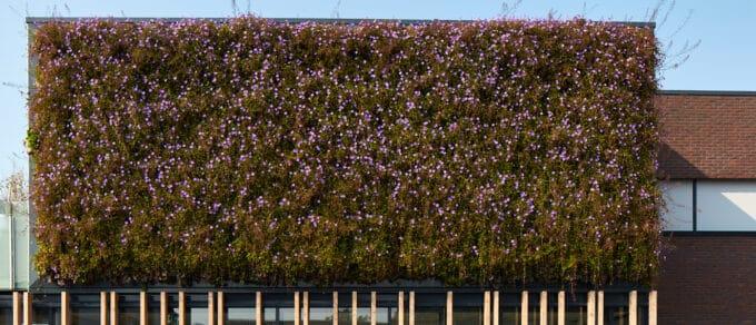 Mobilane Grüne Fassade im Seniorenheim Wiekendael nach 5 Jahren immer noch in voller Blüte