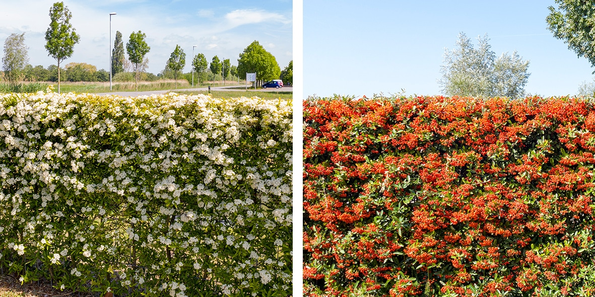 Mobilane website InText image Vuurdoorn kant en klaar haag - bessen en bloei